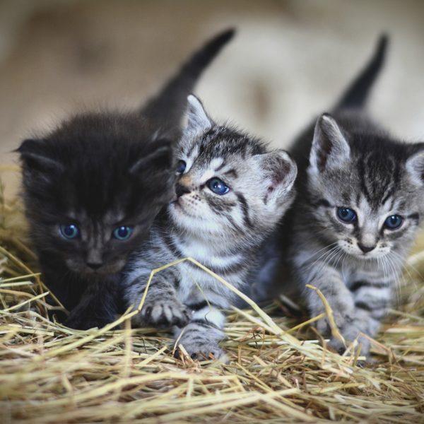 Kissan rokotukset – Milloin kissa tulisi rokottaa