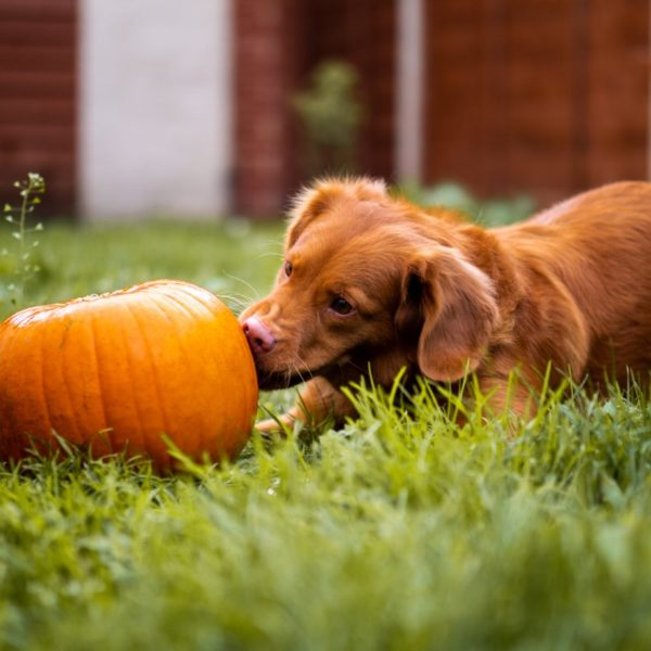 Koiralle haitalliset ruoka-aineet