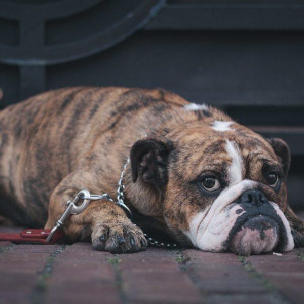 Koiran rokotukset – milloin pentu tai aikuinen koira rokotetaan